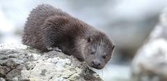 20pg8870 Otter 1