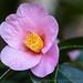 Camellia saluenensis, 1.24.20