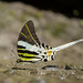Swallowtails - Photo (c) Green Baron Pro, some rights reserved (CC BY-NC)