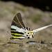 Mariposas Cometa - Photo (c) Green Baron Pro, algunos derechos reservados (CC BY-NC)