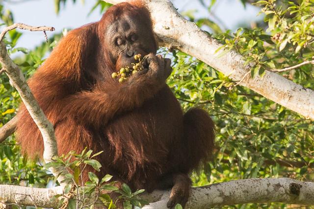 Bornean Orangutan -  female