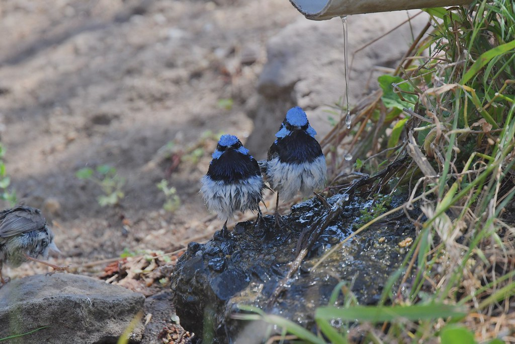 Superb Fairy-wrens (male time )