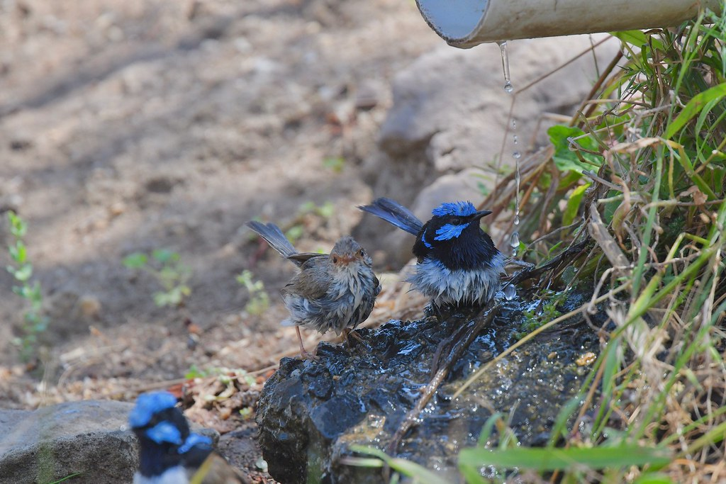 Superb Fairy-wrens ( its summer )