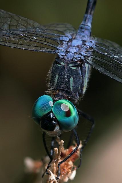 La libélula de ojos turquesa