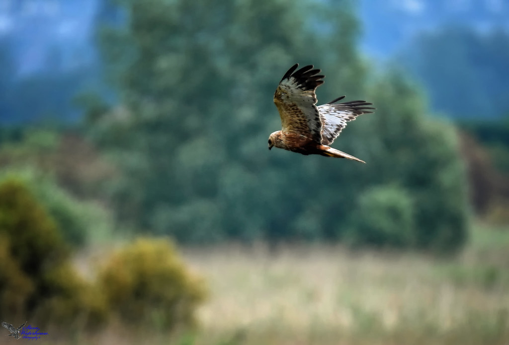 Marsh Harrier.