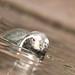 Humboldtpinguin (Lat. Spheniscus humboldti)