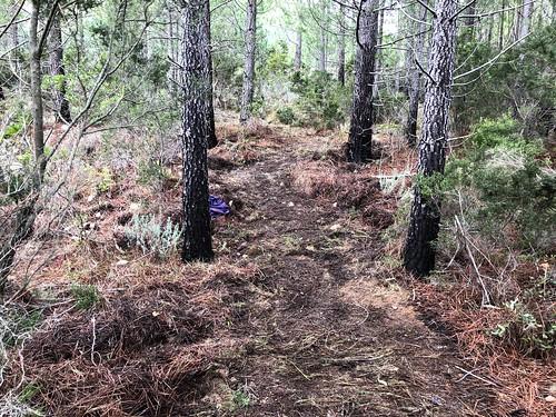 Restauration de l'ancien chemin de Luviu vers 500m : le chemin après le démaquisage/nettoyage