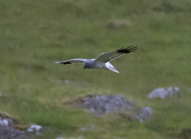 Hen Harrier(M)