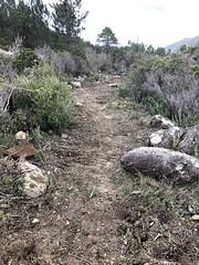 Restauration de l'ancien chemin de Luviu vers 500m : l'extrémité démaquisée de la journée
