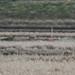 Shorteared owl -202001261635.jpg