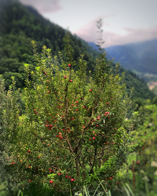 Himachal apple 🍎🍎