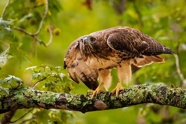 Red tailed Hawk  DSC_5373