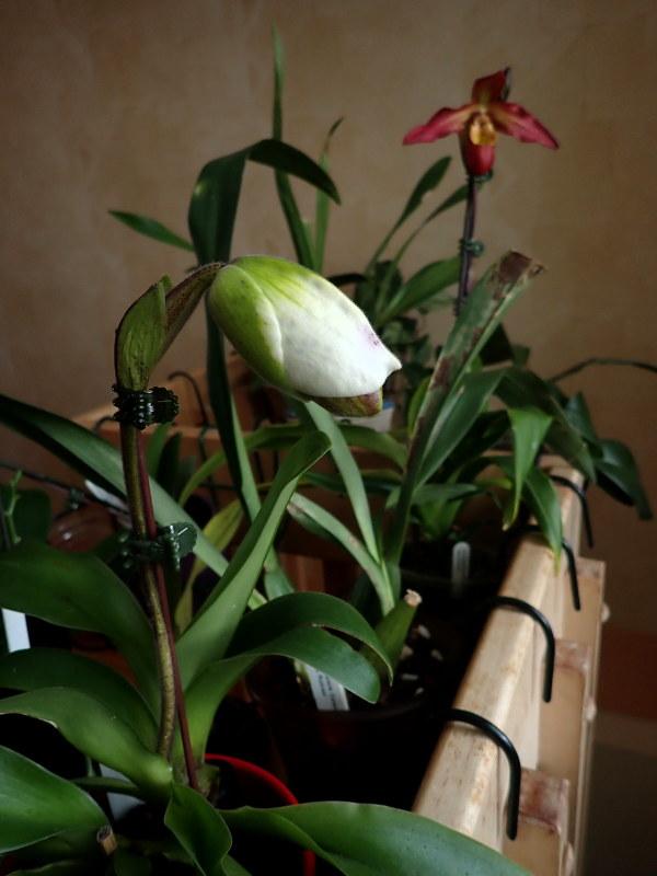 Les Orchidées chez Cloo en 2020 - Page 4 49450775671_32eb07970a_c