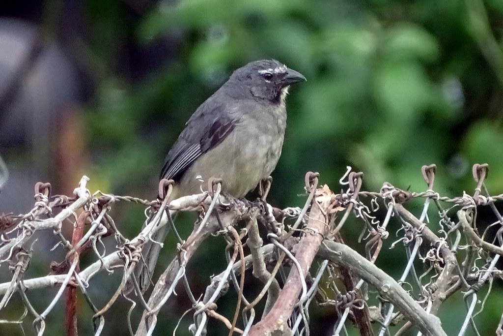 Grayish Saltator - Panama
