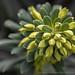 Euphorbia,_1.27.20