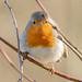 Rotkehlchen / Red robin