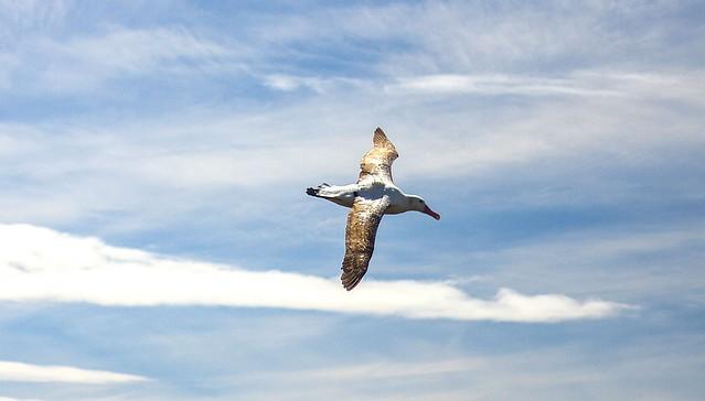 Albatros2a