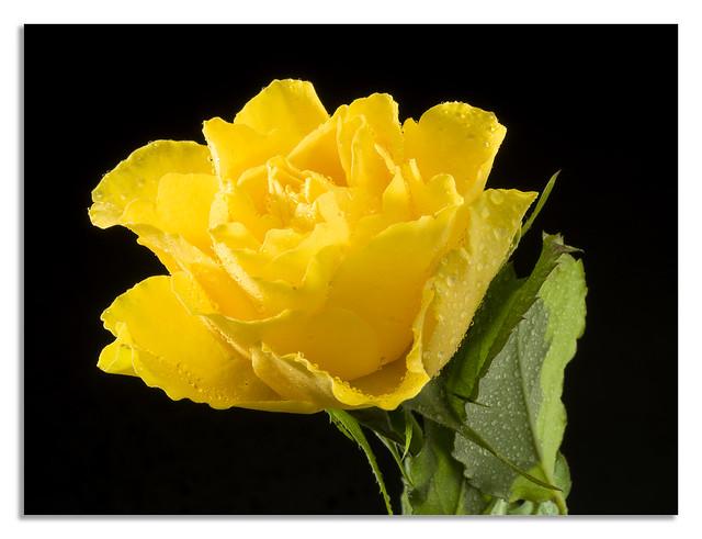 Little yellow rose.