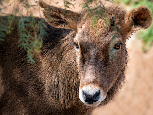 Therald's Deer
