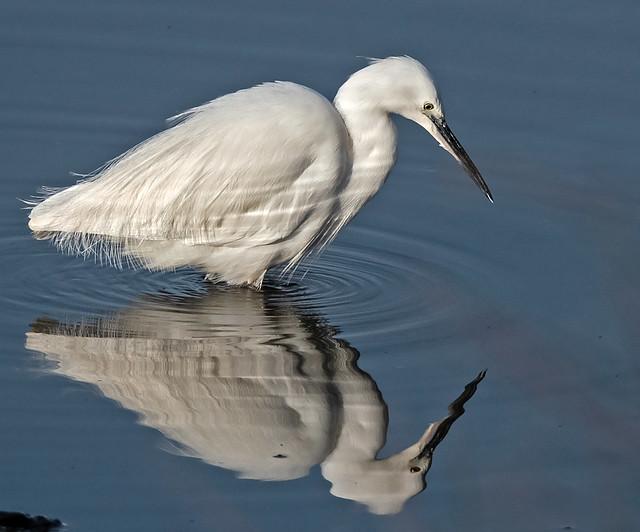 Little egret - Egretta garzetta 6