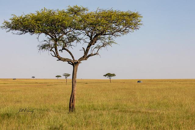 Acacia Trees, Maasai Mara National Reserve, Kenya