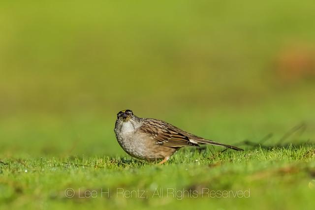 Golden-crowned Sparrow along the California Coast