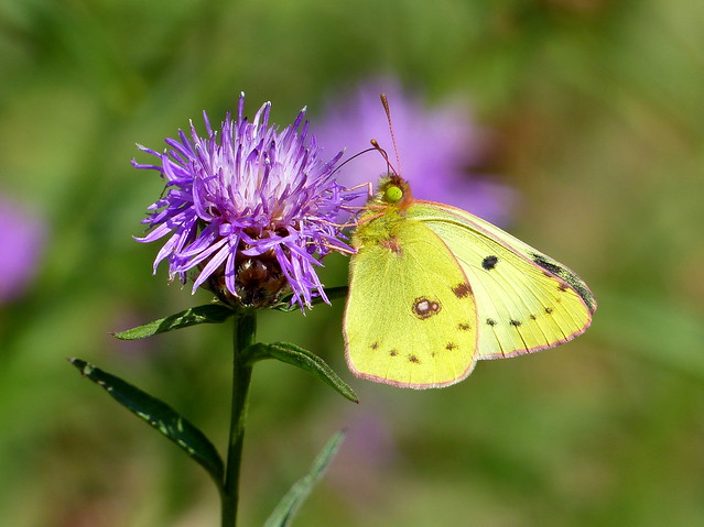 Pale Clouded Yellow - Weißklee-Gelbling