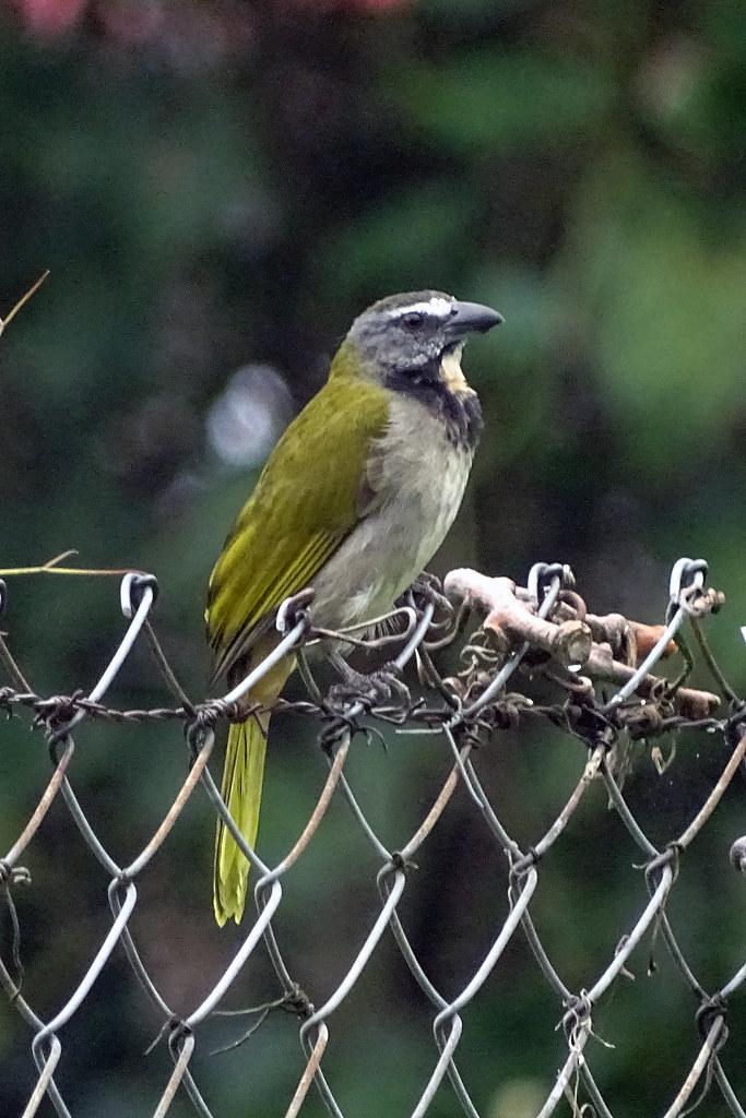 Buff-throated Saltator - Panama