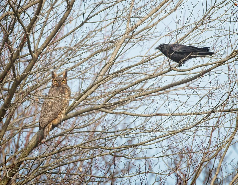 Great Horned Owl and Crow
