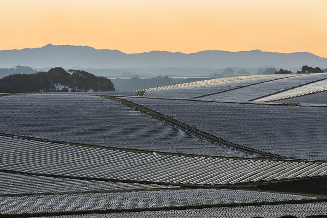 Strawberry Fields near Monterey Bay