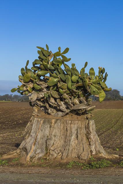 Stump with Cactus near Sunset State Beach