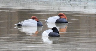 Photo: Redheads (Aythya americana) and Greater Scaup (Aythya marila) by Anna Julnes