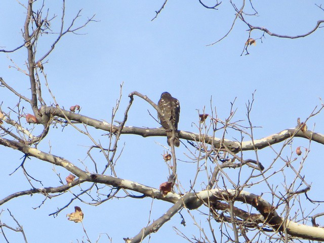 hawk near her nest