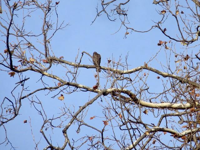 hawk watching her nest