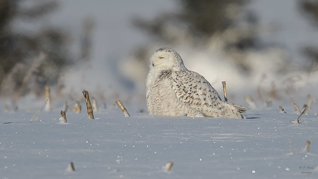 Snowy Owl 6525