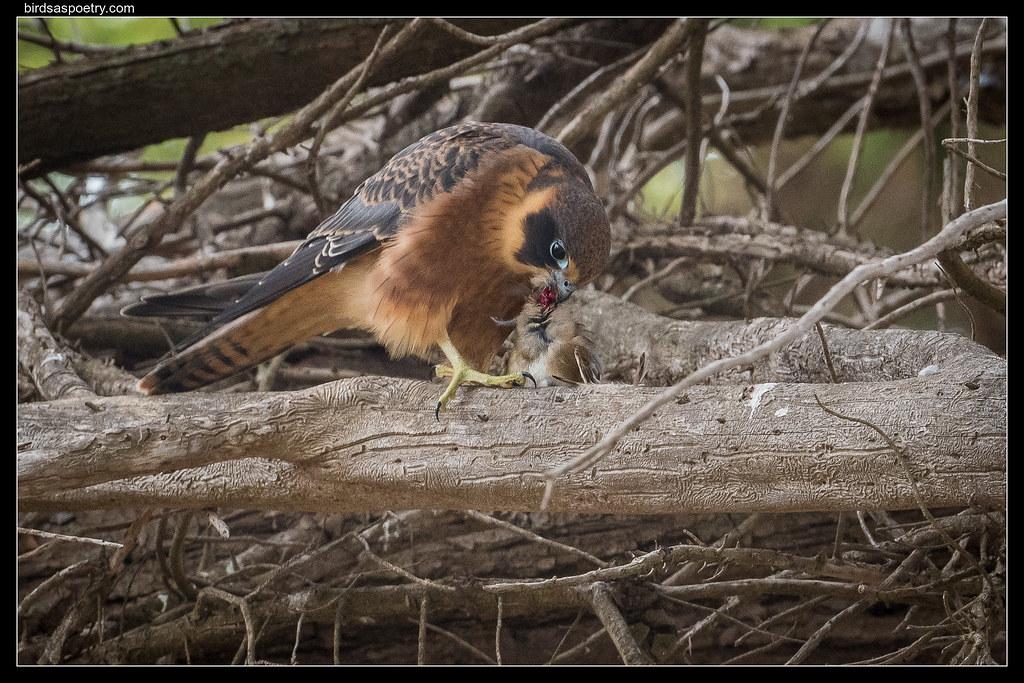 Australian Hobby: Sparrow Dinner