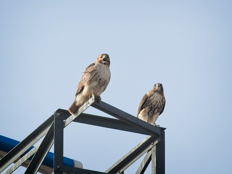 Red-tail pair