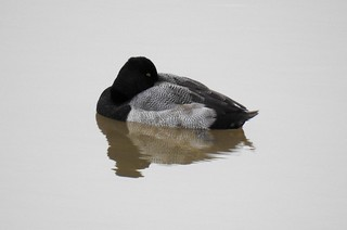 Photo: Greater Scaup (Aythya marila) by Anna Julnes