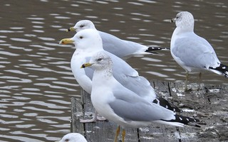 Photo: European Herring Gull (Larus argentatus) and Ring-billed Gull (Larus delawarensis) by Anna Julnes