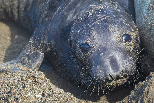 A Wide Eyed Newborn Elephant Seal Pup With Fine Sand On Its Face And Whiskers