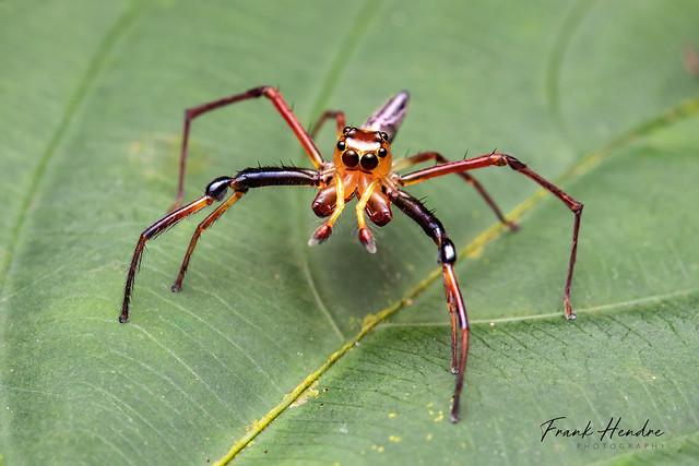 Jumping Spider (Bathippus sp) male