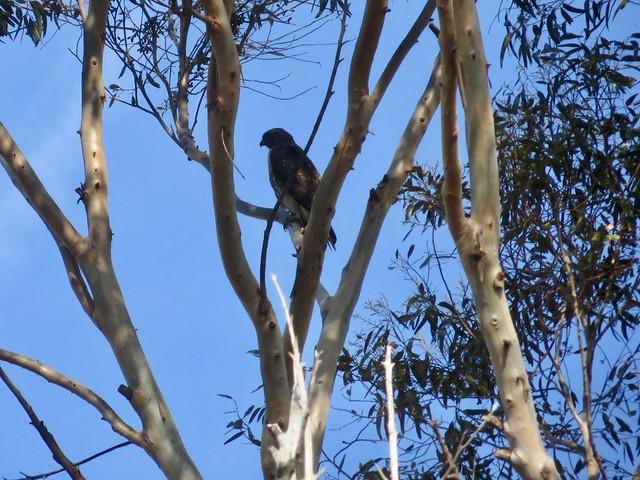 hidden hawk