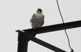 Photo: Peregrine Falcon (Falco peregrinus) by Anna Julnes