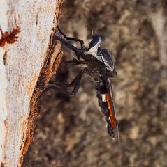 Any idea what this is? - I now Know it is a Robber Fly (Asilidae)