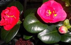 des Camélias en fleurs pour vous tous