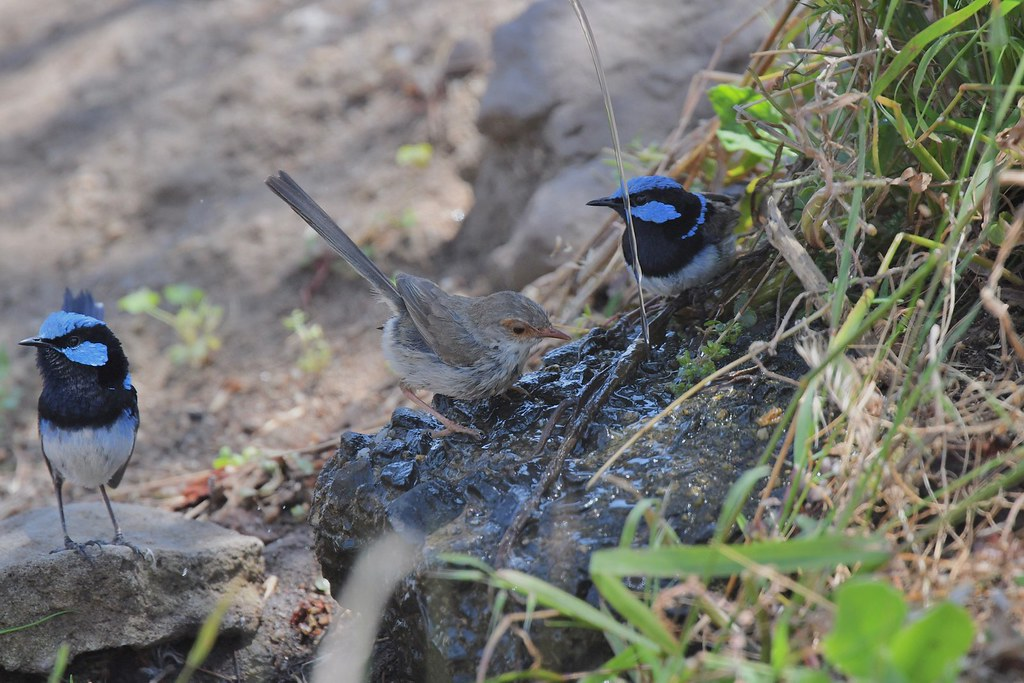 Superb Fairy-wrens ( this female can take her pick )