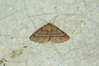 08054 Tawny Wave (Scopula rubiginata), Vranja, Croatia