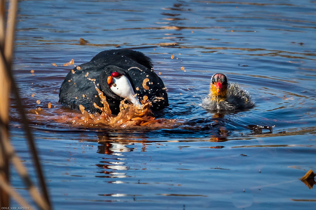 At Abrahamskraal waterhole. Red-knobbed coot/Fulica cristata, feeding the young ones