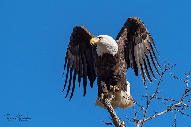 Bald Eagles of New Jersey | 2020 - 14