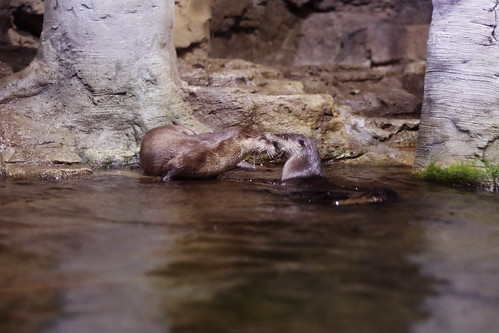 North American River Otter Introduction - 2020